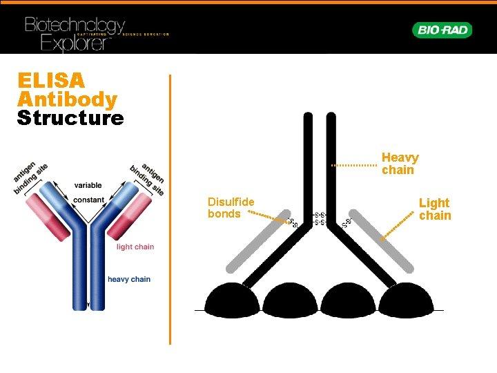 ELISA Antibody Structure Heavy chain Disulfide bonds Light chain