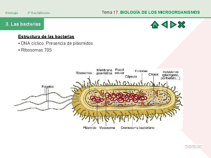 Biología 2º Bachillerato 3. Las bacterias Estructura de las bacterias • DNA cíclico. Presencia