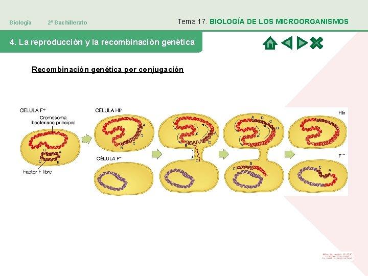 Biología 2º Bachillerato Tema 17. BIOLOGÍA DE LOS MICROORGANISMOS 4. La reproducción y la