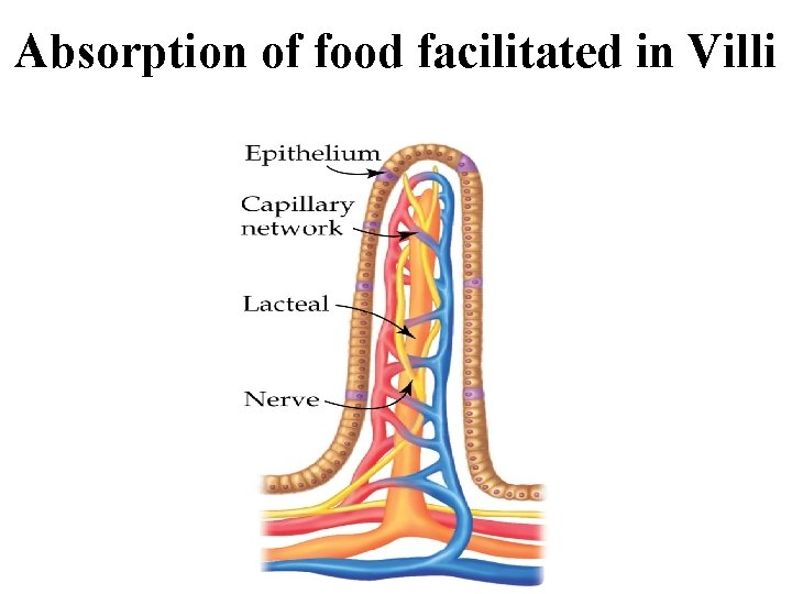 Absorption of food facilitated in Villi