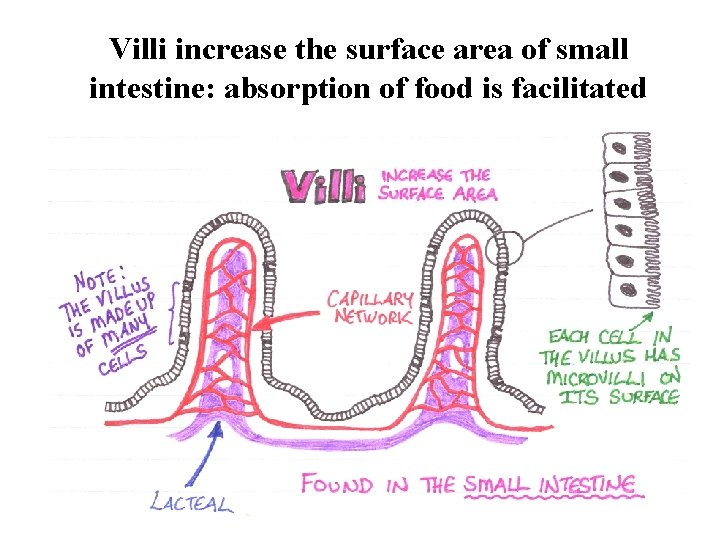 Villi increase the surface area of small intestine: absorption of food is facilitated