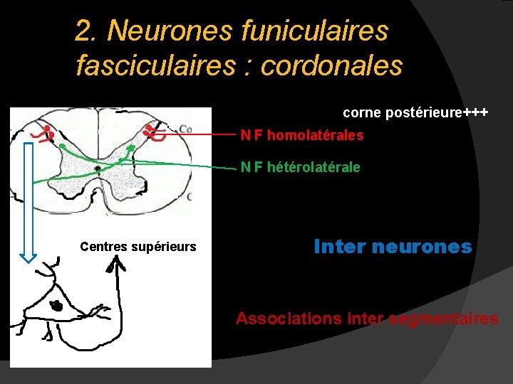 2. Neurones funiculaires fasciculaires : cordonales corne postérieure+++ N F homolatérales N F hétérolatérale
