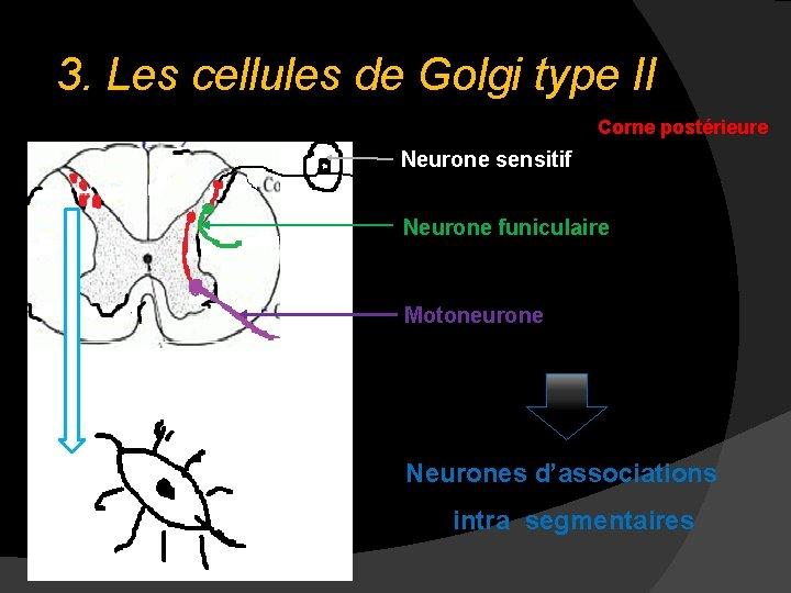 3. Les cellules de Golgi type II Corne postérieure Neurone sensitif Neurone funiculaire Motoneurone