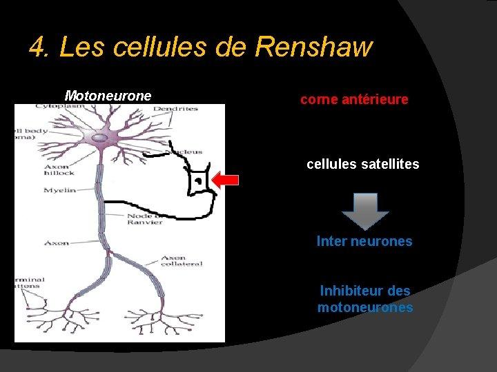 4. Les cellules de Renshaw Motoneurone corne antérieure cellules satellites Inter neurones Inhibiteur