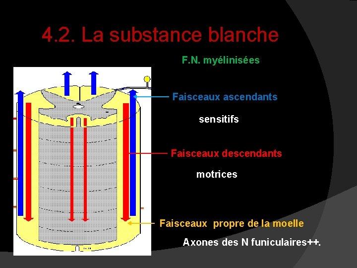 4. 2. La substance blanche F. N. myélinisées Faisceaux ascendants sensitifs Faisceaux descendants motrices
