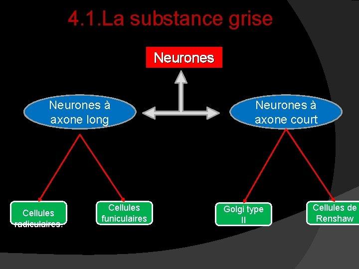 4. 1. La substance grise Neurones à axone long Cellules radiculaires. Cellules funiculaires Neurones