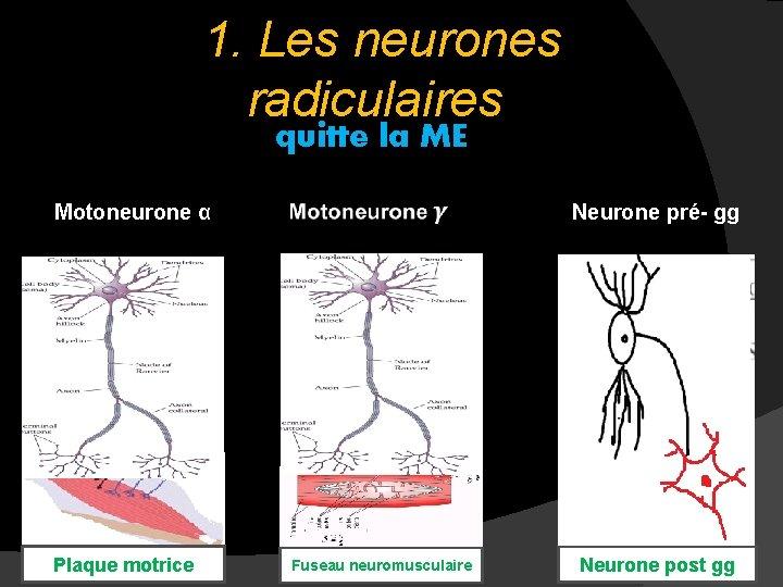 1. Les neurones radiculaires quitte la ME Motoneurone α Neurone pré- gg Plaque motrice
