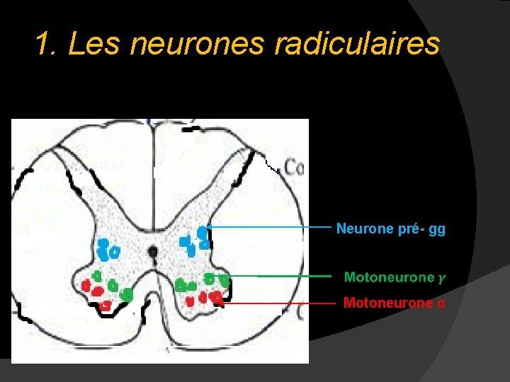 1. Les neurones radiculaires Neurone pré- gg Motoneurone α