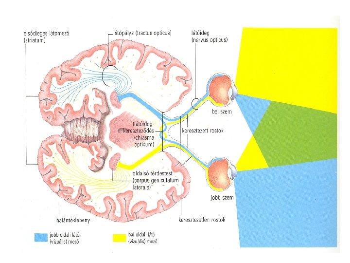 Ichtyosis: okok, tünetek és kezelés. - Édesség Látásszervek rendellenességei fénykép
