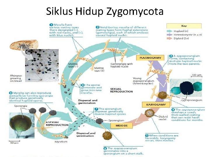 Siklus Hidup Zygomycota