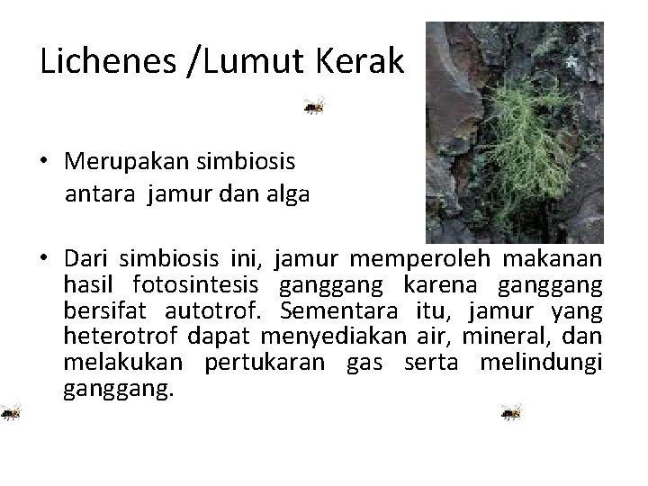 Lichenes /Lumut Kerak • Merupakan simbiosis antara jamur dan alga • Dari simbiosis ini,