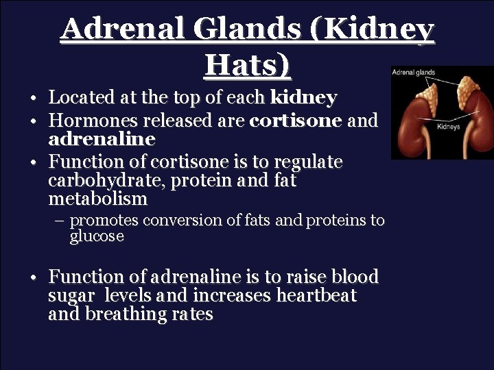 Adrenal Glands (Kidney Hats) • Located at the top of each kidney • Hormones