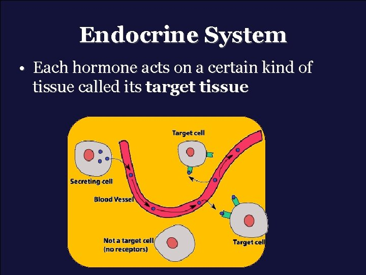 Endocrine System • Each hormone acts on a certain kind of tissue called its