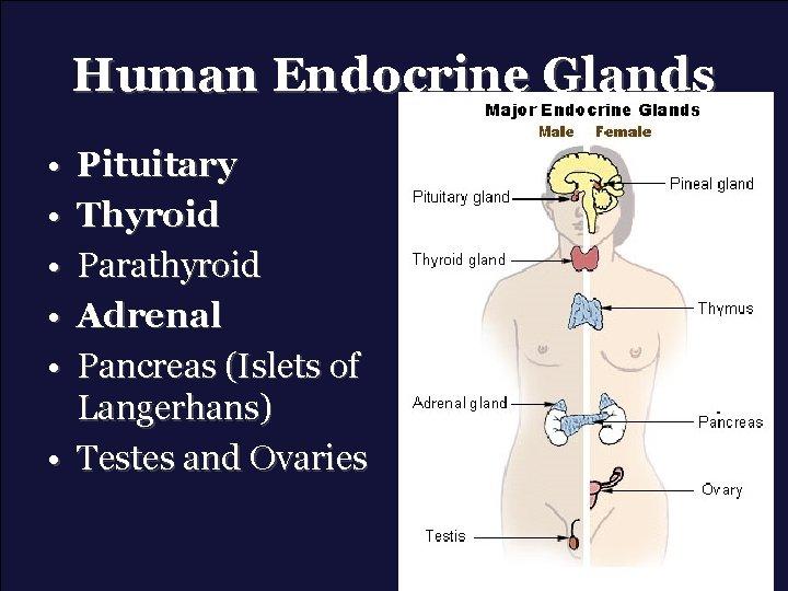 Human Endocrine Glands • • • Pituitary Thyroid Parathyroid Adrenal Pancreas (Islets of Langerhans)