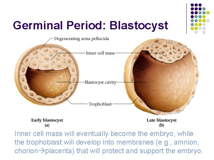 Germinal Period: Blastocyst Inner cell mass will eventually become the embryo, while the trophoblast
