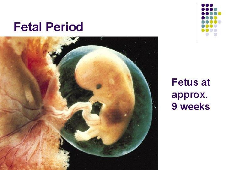 Fetal Period Fetus at approx. 9 weeks