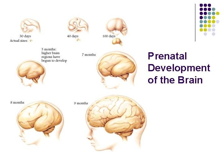 Prenatal Development of the Brain