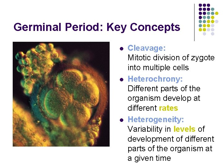 Germinal Period: Key Concepts l l l Cleavage: Mitotic division of zygote into multiple