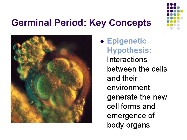 Germinal Period: Key Concepts l Epigenetic Hypothesis: Interactions between the cells and their environment