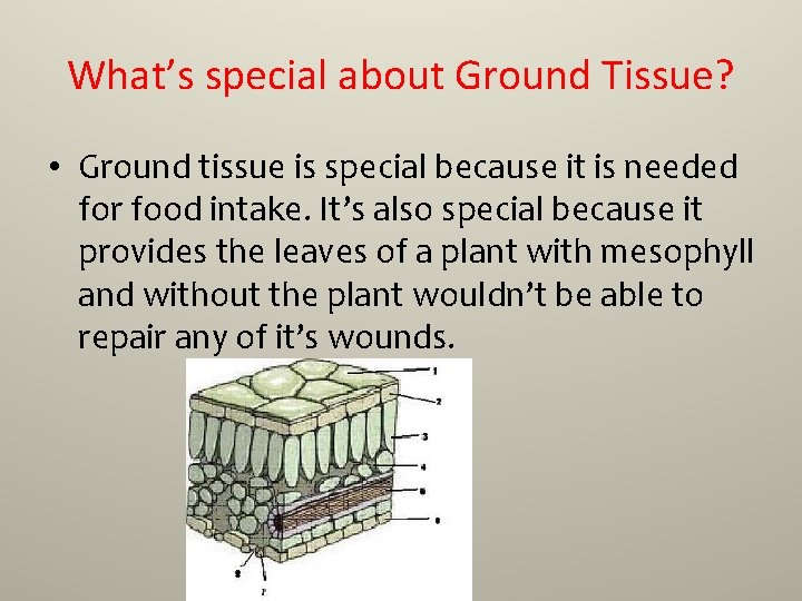 What's special about Ground Tissue? • Ground tissue is special because it is needed