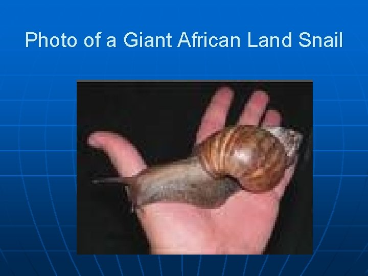 Photo of a Giant African Land Snail