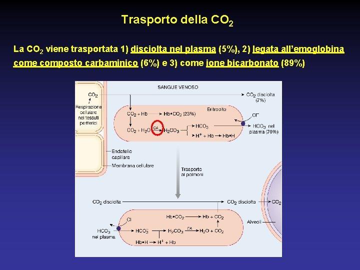 Trasporto della CO 2 La CO 2 viene trasportata 1) disciolta nel plasma (5%),