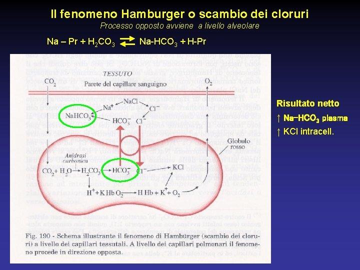 Il fenomeno Hamburger o scambio dei cloruri Processo opposto avviene a livello alveolare Na