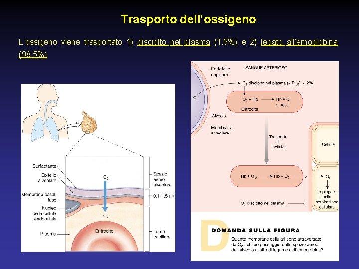 Trasporto dell'ossigeno L'ossigeno viene trasportato 1) disciolto nel plasma (1. 5%) e 2) legato