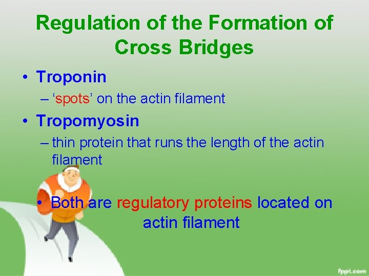 Regulation of the Formation of Cross Bridges • Troponin – 'spots' on the actin