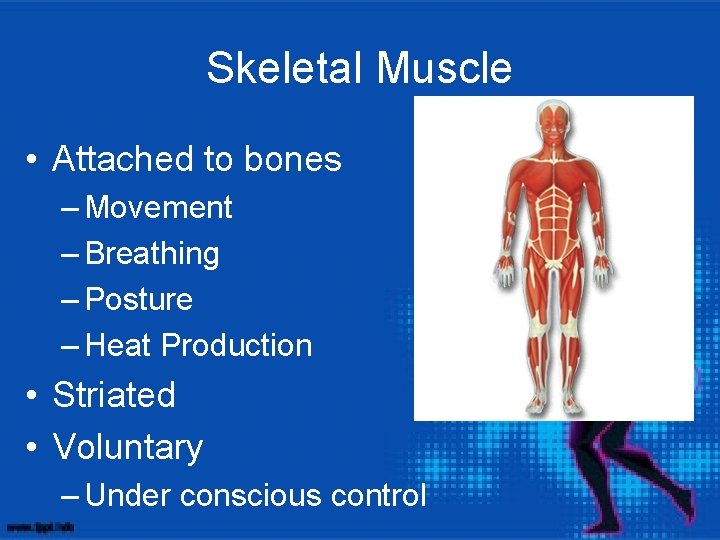 Skeletal Muscle • Attached to bones – Movement – Breathing – Posture – Heat