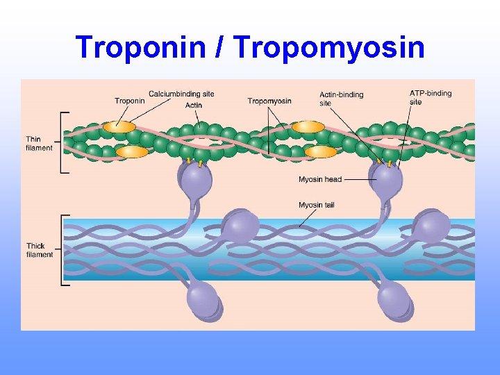 Troponin / Tropomyosin
