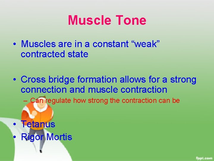 """Muscle Tone • Muscles are in a constant """"weak"""" contracted state • Cross bridge"""