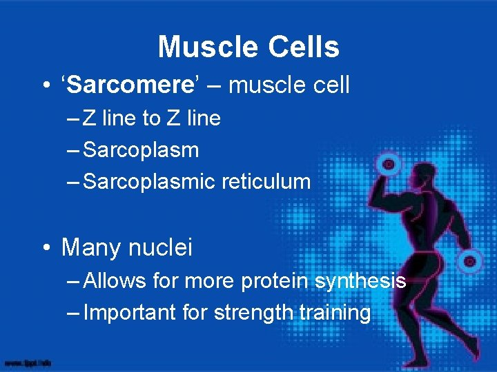 Muscle Cells • 'Sarcomere' – muscle cell – Z line to Z line –