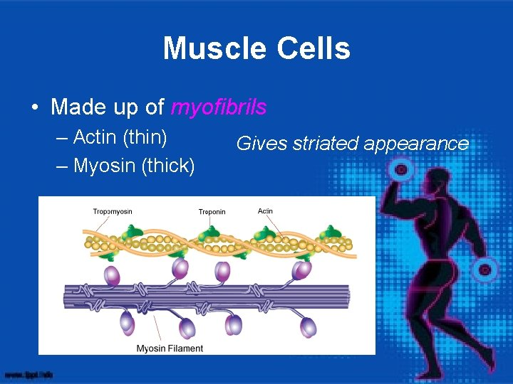 Muscle Cells • Made up of myofibrils – Actin (thin) – Myosin (thick) Gives