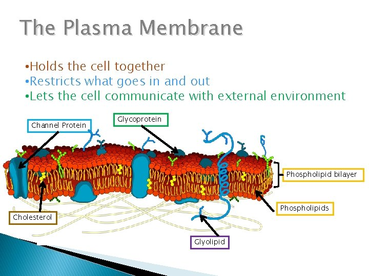 The Plasma Membrane • Holds the cell together • Restricts what goes in and