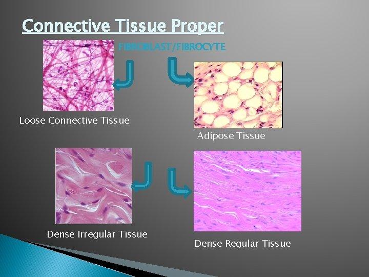 Connective Tissue Proper FIBROBLAST/FIBROCYTE Loose Connective Tissue Adipose Tissue Dense Irregular Tissue Dense Regular