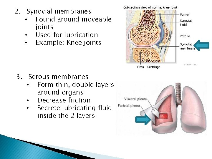 2. Synovial membranes • Found around moveable joints • Used for lubrication • Example: