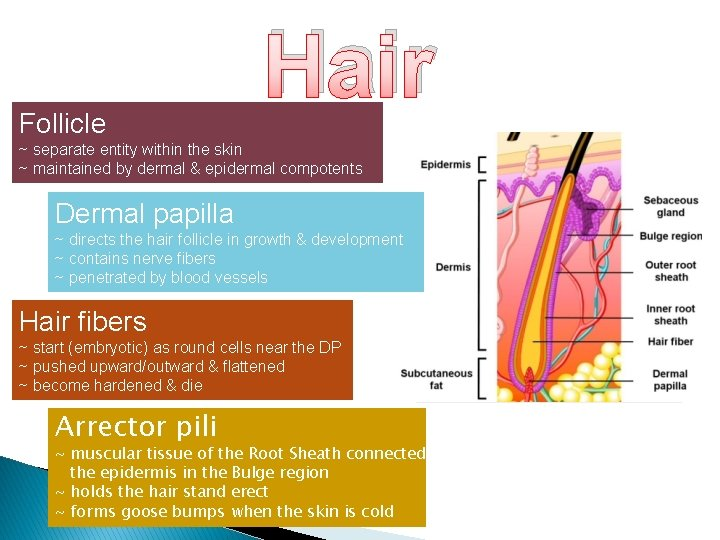 Follicle Hair ~ separate entity within the skin ~ maintained by dermal & epidermal