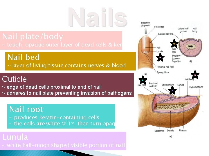 Nail plate/body Nails ~ tough, opaque outer layer of dead cells & keratin Nail