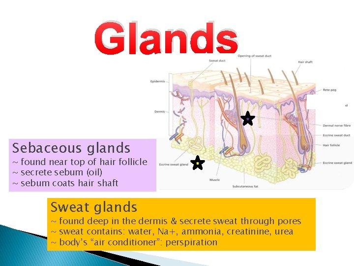 Glands Sebaceous glands ~ found near top of hair follicle ~ secrete sebum (oil)