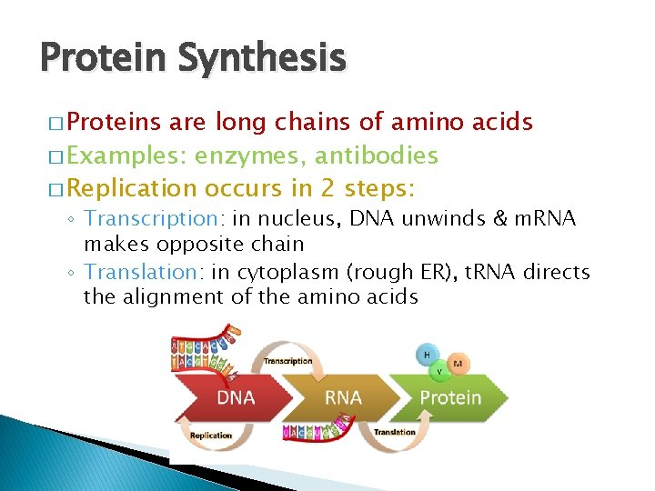 Protein Synthesis � Proteins are long chains of amino acids � Examples: enzymes, antibodies