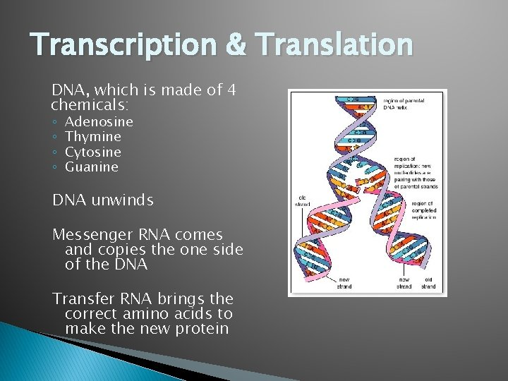 Transcription & Translation DNA, which is made of 4 chemicals: ◦ ◦ Adenosine Thymine