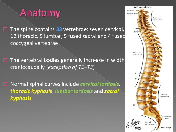 Anatomy � The spine contains 33 vertebrae: seven cervical, 12 thoracic, 5 lumbar, 5