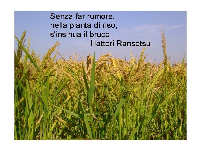 Senza far rumore, nella pianta di riso, s'insinua il bruco Hattori Ransetsu