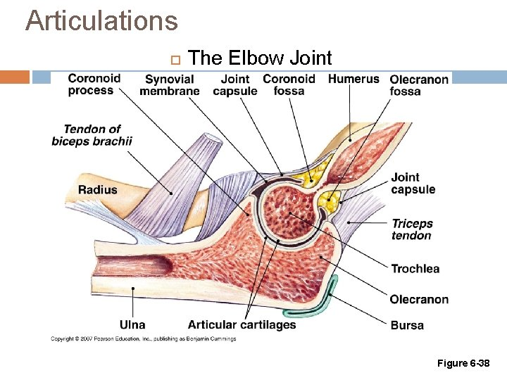 Articulations The Elbow Joint Figure 6 -38