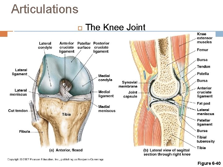 Articulations The Knee Joint Figure 6 -40