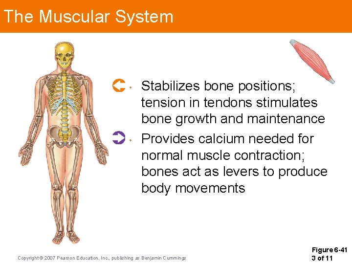 The Muscular System • • Stabilizes bone positions; tension in tendons stimulates bone growth