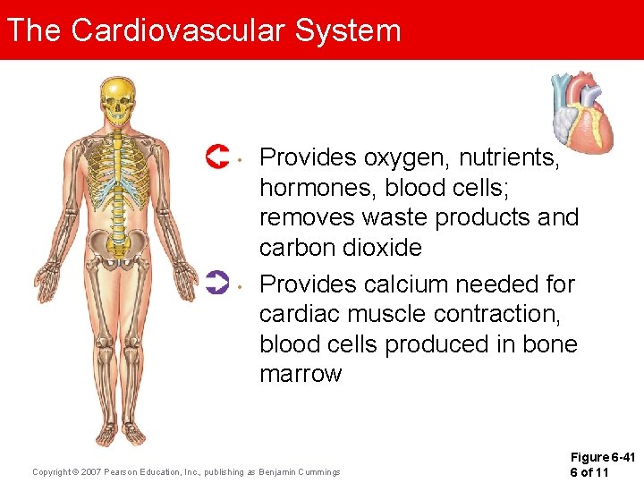 The Cardiovascular System • • Provides oxygen, nutrients, hormones, blood cells; removes waste products