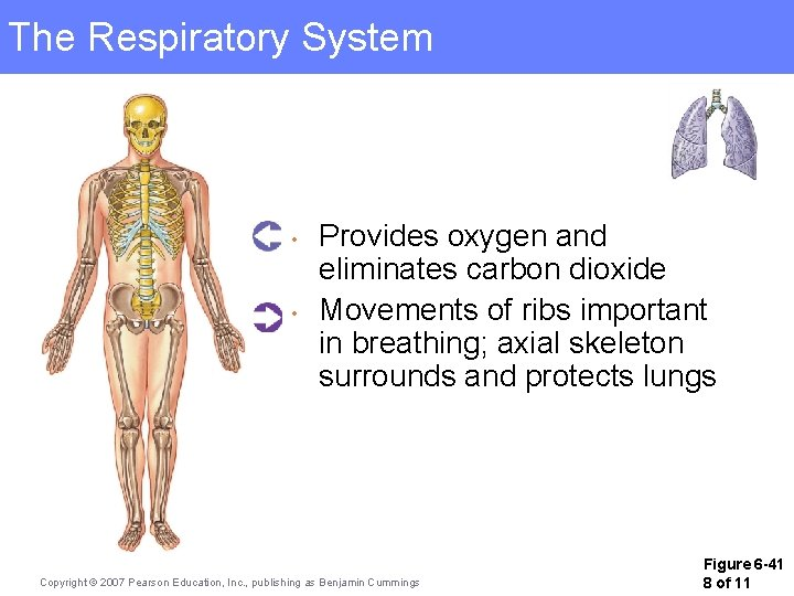 The Respiratory System • • Provides oxygen and eliminates carbon dioxide Movements of ribs
