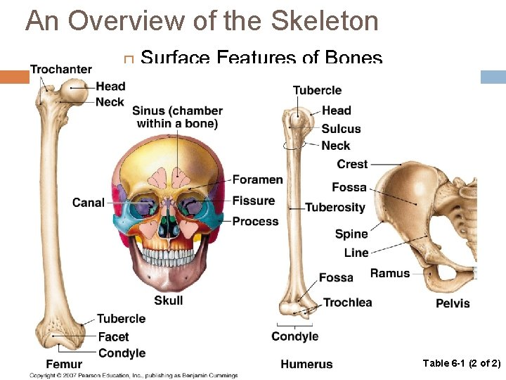 An Overview of the Skeleton Surface Features of Bones Table 6 -1 (2 of